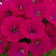 petunia-gotunia-neon-pink-exp-105cm-kruka-1