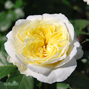 floribundaros-kronprincesse-mary-20cm-kruka-1