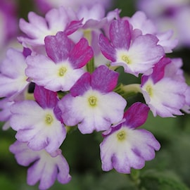 verbena-amethyst-kiss---3-plantor-1