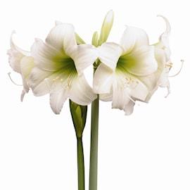 afrikansk-amaryllis-panatella-1st-1
