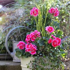 zonalpelargon-tango-deep-rose-with-eye-12cm-k-1