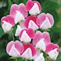 luktrt-painted-lady-grandiflora-3