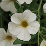 minipetunia-cabaret-white-105cm-kruka-1