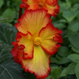 begonia-crispa-marginata-2st-1