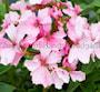 stjrnpelargon-nygrdens-lilac-splash-1