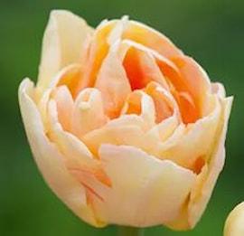 sen-fylld-tulpan-charming-lady-8st-1