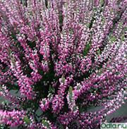 ljung-garden-girls-lila-11-12cm-kruka-1