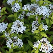 amsonia-blue-ice-9cm-kruka-1