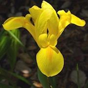 hollndsk-iris-golden-beauty-20st-1