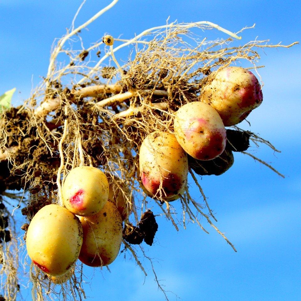 Potatis - Carolus 1kg