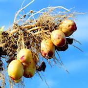 potatis---carolus-1kg-1