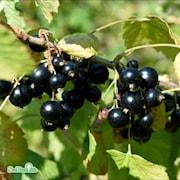 svarta-vinbr-delikatesnaja-35-l-co-1