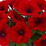 petunia-viva-chili-red-exp-105cm-kruka-1