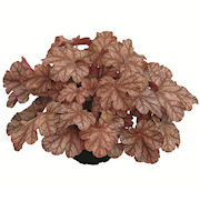 alunrot-frosted-flame-12cm-kruka-1