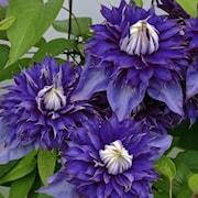 klematis-multi-blue-9cm-kruka-1