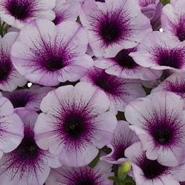 petunia-viva-purple-veins-exp-105cm-kruka-1