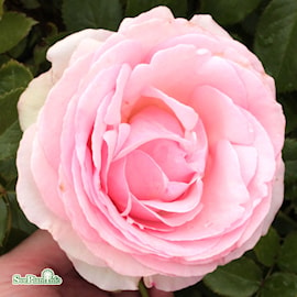 buskros-eden-rose-1
