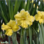 stjrnnarciss-cassata-5st-1