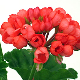 tulpanblommande-pelargon-red-pandora-1-st-1