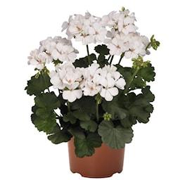 zonalpelargon-sarita-white-105cm-kruka-1