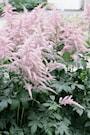 astilbe-bressingham-beauty-3st-barrotad-3