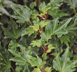 murgrna-fandango-12cm-kruka-1
