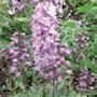 trdgrdsriddarsporre-magic-fountains-lilac-ros-2