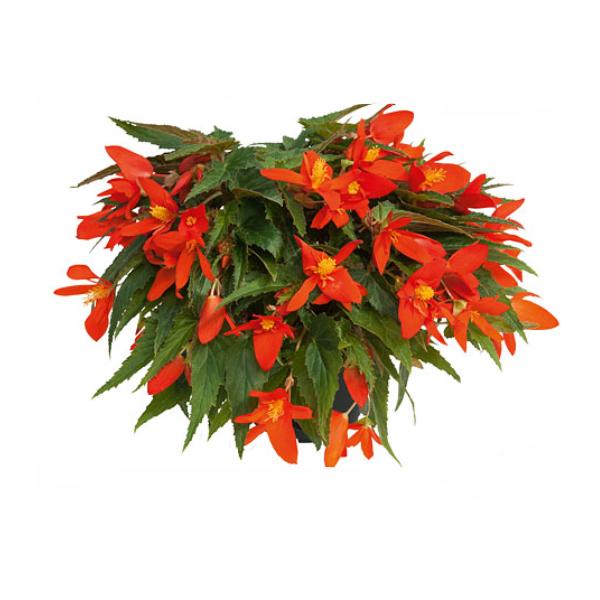 Begonia 'Compact Orange' 10,5 cm kruka