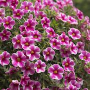 minipetinia-volcano-pink---3-plantor-1