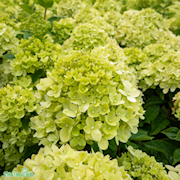 vipphortensia-limelight-35-50-l-co-1