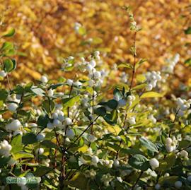 doorenbossnbr-white-hedge-c3-35-1
