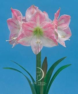 amaryllis-cherry-blossom-1