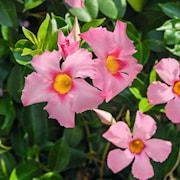 bgarranka-bella-pink-jewel-105cm-kruka-1