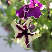 petunia-viva-eclipse-105cm-kruka-1