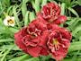 daglilja-stellar-double-rose-1-st-3