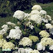 vidjehortensia-annebelle-c3-35-1