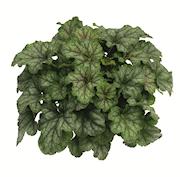 alunrot-emerald-queen-12cm-kruka-1