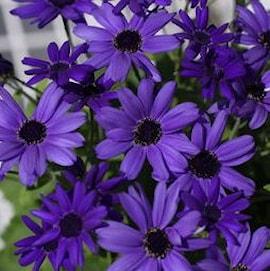 cineraria-senetti-violet-1