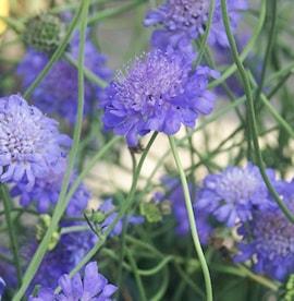 fltvdd-butterfly-blue-17cm-kruka-1