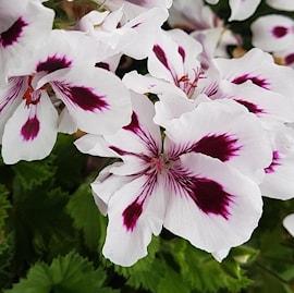 nglapelargon-aristo-purple-stripes-3-st-1