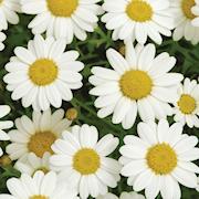 margerit-madeira-crested-white-105cm-kruka-1