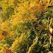 japansk-delcypress-kamarachiba-c15-c2-1