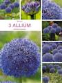 allium-globemaster-storpack-3