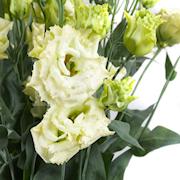 snittblomma-eustoma-green-3-plantor-1