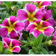 minipetunia-superbells-pink-starburst-105cm-k-1