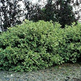 rysk-kornell-ivory-halo-35l-co-1