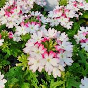trdgrdsverbena-vepita-pink-kiss---3-plantor-1