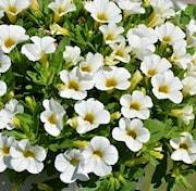 minipetunia-conga-white-105cm-kruka-1