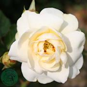 ros-rosenmager-sara-20cm-kruka-1