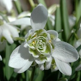 fylld-sndroppe-flore-pleno-7st-1